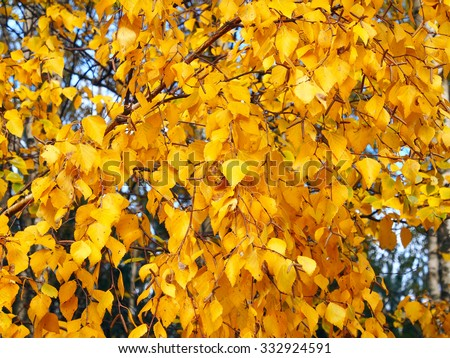 Golden autumn leaves of a birch tree  - stock photo
