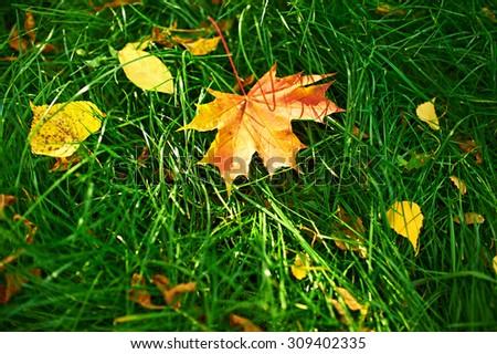 Golden autumn maple leaves on green grass - stock photo