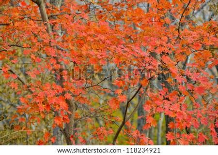 Golden autumn. Russia. - stock photo