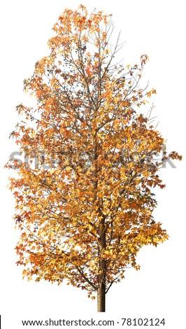 Golden autumn tree isolated on white in studio - stock photo