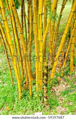 Golden bamboo - stock photo