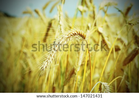 golden barley field / agriculture - stock photo
