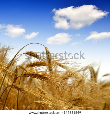 golden barley in the blue sky background - stock photo
