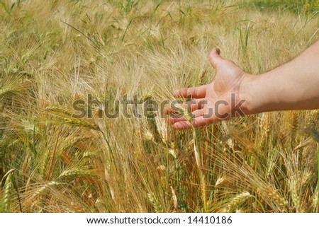 Golden barley ready for harvest