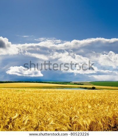 golden barley under dramatic sky - stock photo