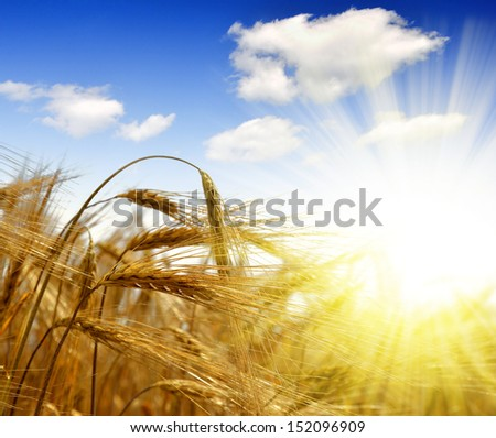 golden barley with sunny sky - stock photo