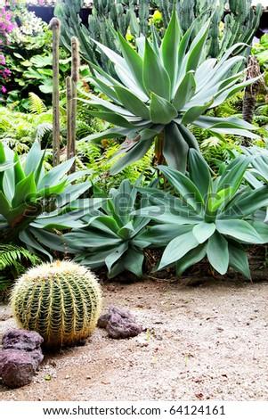 Golden barrel cactus and agava at tropical garden - stock photo