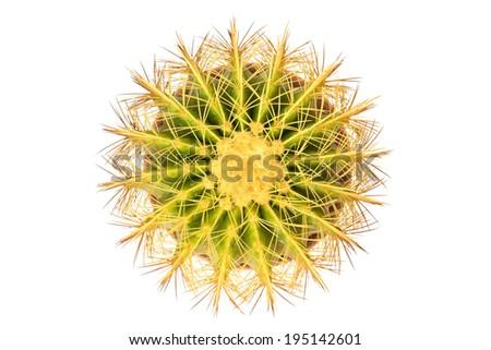 Golden Barrel (Echinocactus Grusonii) Cactus top view on white background - stock photo