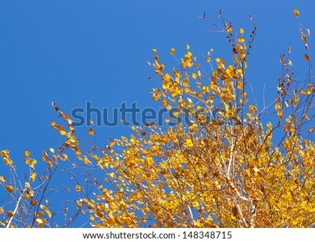 Golden birch leaves on vibrant blue sky background in autumn - stock photo