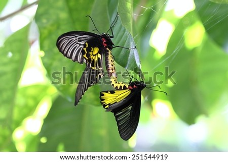Golden Birdwing butterfly lat. Troides aeacus reproduction - stock photo