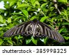 Golden Birdwing butterfly (Troides aeacus) perched on a leaf. Natural green background,close up beautiful betterfly in the garden.Big wing butterfly. - stock photo
