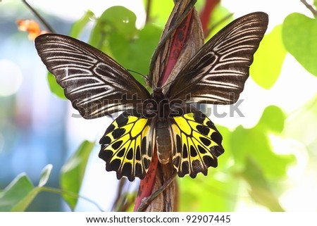 Golden Birdwing (Troides aeacus) is a large butterfly belonging to the Swallowtail (Papilionidae family).