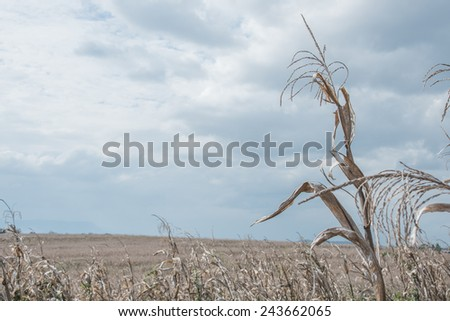 golden brown dry corn field grassland - stock photo