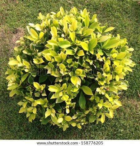 Golden Bush - stock photo