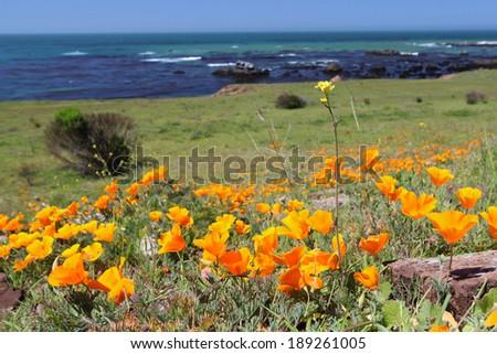Golden California poppy flowers along rugged coastline - stock photo