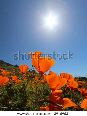 Golden California state poppy flower with sun flare in blue sky - stock photo