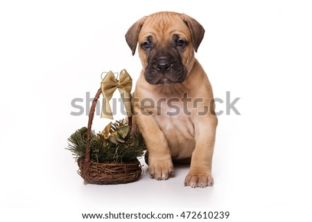 Golden Cane Corso puppy dog (isolated on white)