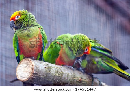 Golden-capped Parakeet (Aratinga auricapillus aurifrons) sitting on a branch - stock photo