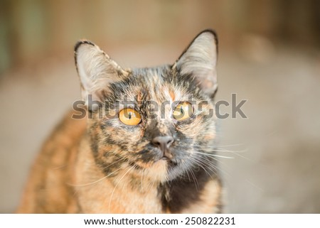 Golden cat looks like a tiger - stock photo