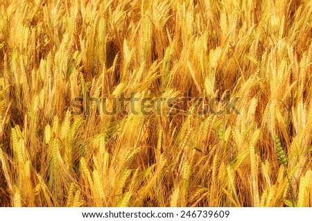 golden cereal field closeup - stock photo