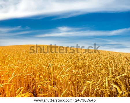 golden cereal field closeup
