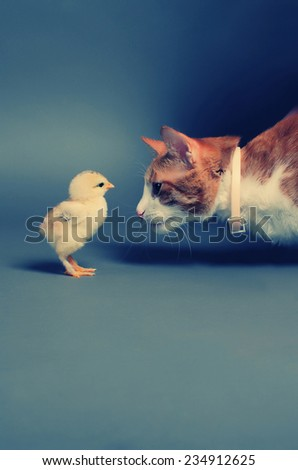 Golden chick and a cat standing face to face  - stock photo