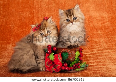 Golden Chinchilla kittens inside Christmas cup on orange background