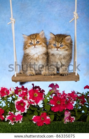 Golden Chinchilla kittens on garden swing with flowers - stock photo
