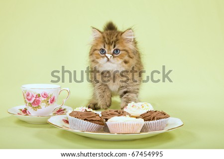 Golden Chinchilla Persian kitten eating creamy cup cakes on green background - stock photo