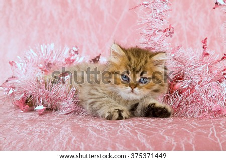Golden Chinchilla Persian kitten lying down with pink tinsel on pink background  - stock photo
