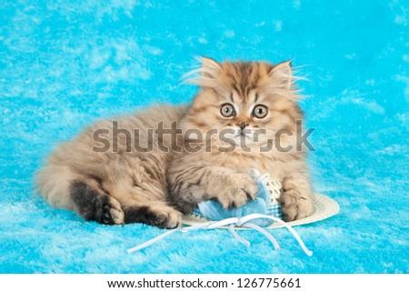 Golden Chinchilla persian kitten lying on white straw hat on blue background - stock photo