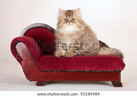 Golden Chinchilla Persian kitten on red sofa chaise mottled cream background canvas - stock photo