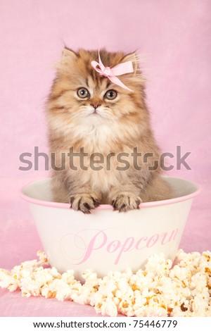Golden Chinchilla Persian kitten sitting inside popcorn bowl on pink background - stock photo
