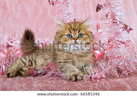 Golden Chinchilla Persian kitten with pink Christmas decorations - stock photo