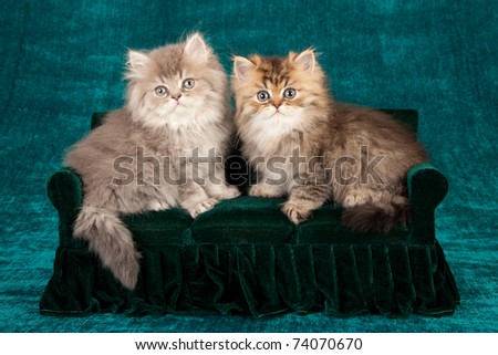 Golden Chinchilla Persian kittens on miniature couch sofa chaise chair - stock photo