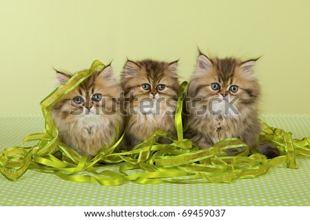 Golden Chinchilla Persian kittens with ribbons on green background - stock photo