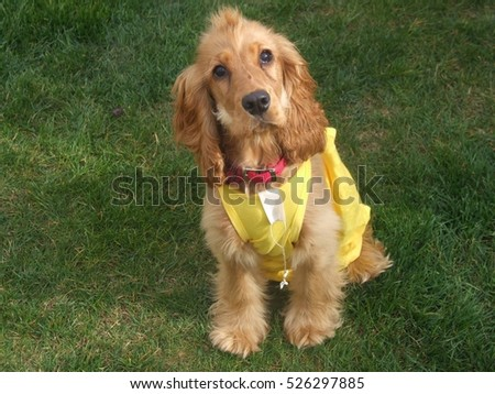 golden cocker spaniel dog in a yellow top
