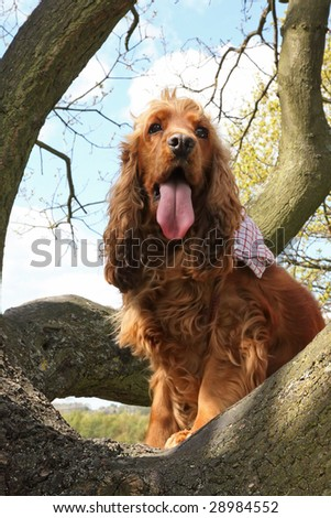 Golden Cocker Spaniel wearing a bandana climbing up a Tree in Spring with slight blur to chest and tongue due to panting - stock photo