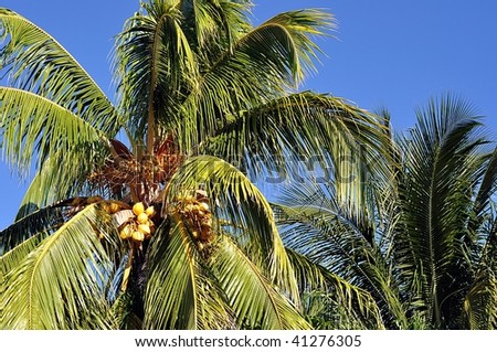 Golden Coconuts On Palm Tree