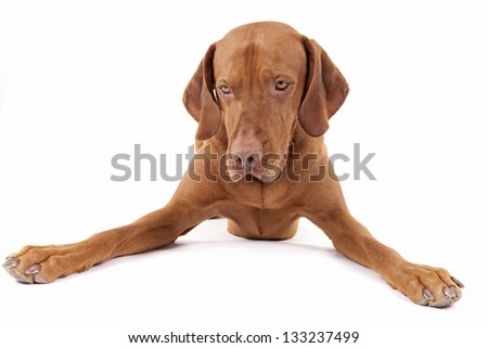 golden color dog laying with legs spread wide open on white background