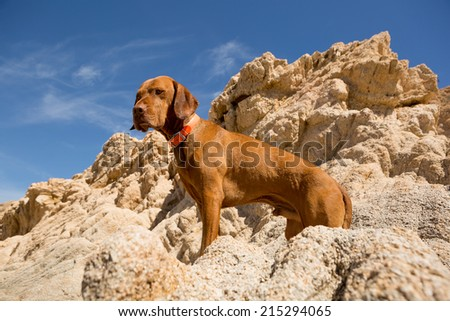 golden color dog standing on cliff with blue sky in the background - stock photo