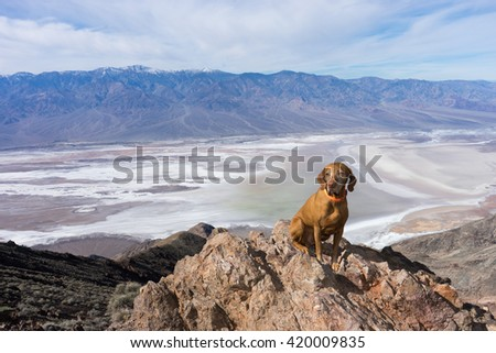 golden color pure breed dog sitting at dante's point in death v - stock photo