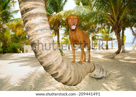 golden color pure breed dog standing on bent palm tree trunk on beach - stock photo