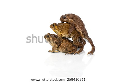 Golden color skin and orange neck toad are mating and contender on White background, Toads are associated with drier skin and more terrestrial habitats than animals commonly called frogs - stock photo