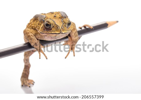 Golden color skin and orange neck toad hold a pencil on White background.   Toads are associated with drier skin and more terrestrial habitats than animals commonly called frogs - stock photo