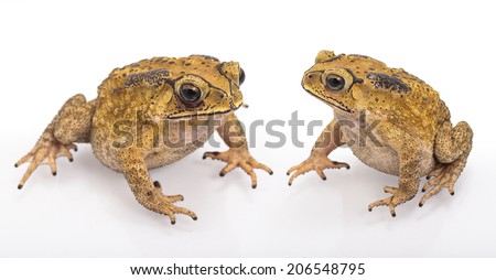 Golden color skin and orange neck toad on White background   Toads are associated with drier skin and more terrestrial habitats than animals commonly called frogs - stock photo