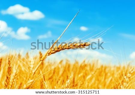 golden color wheat ear on field. soft focus - stock photo