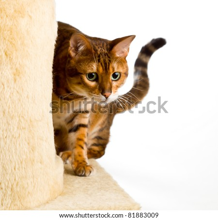 Golden colored bengal cat creeping around the side of wool covered climbing frame and peeping at the camera - stock photo