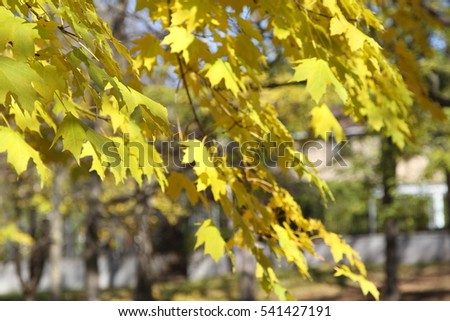 Golden colored maple tree