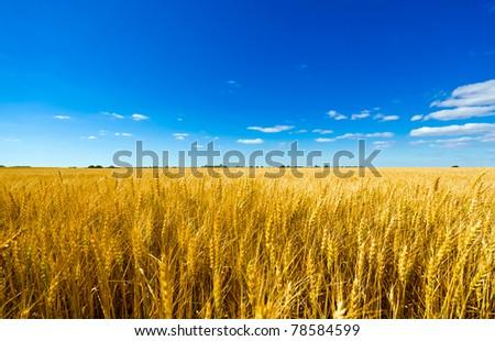 Golden colorful crop meadow under a blue vivid sky - stock photo